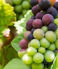 Foreningen til Vinens Fremme